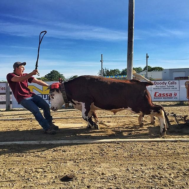 One of my favorite photos from Nova Scotia. Steer pulling at the Western Nova Scotia Expo in Yarmouth.